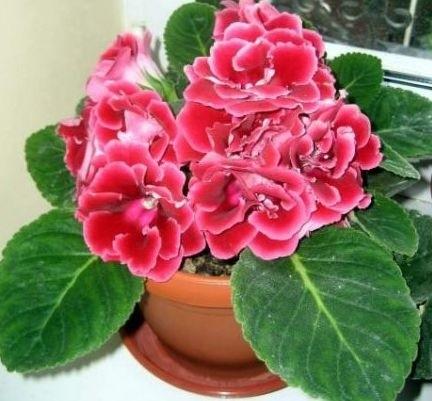 Глоксиния фото цветов уход в домашних условиях фото