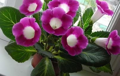 Цветы глоксиния уход размножение 7