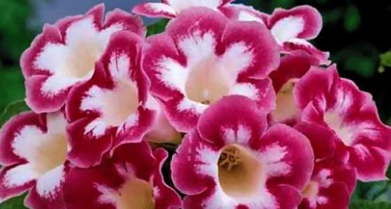 Цветок глоксиния уход